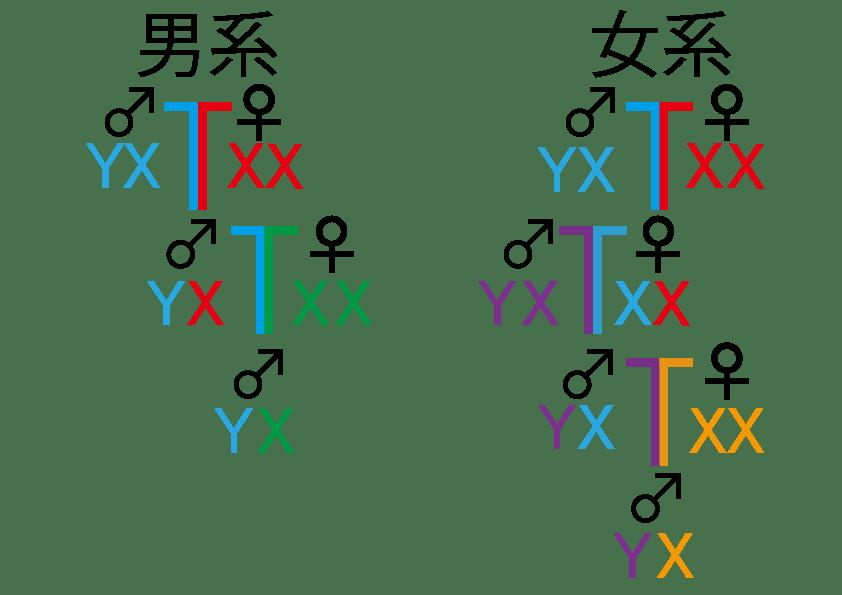 遺伝子から見る男系と女系の違い